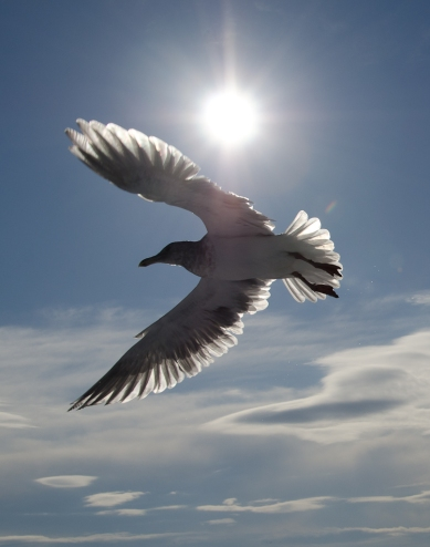 seagull-in-the-sun2